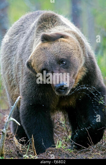 European brown bear (Ursus arctos arctos), shaking water off, Finland, Kajaani Region Kuhmo, Kuikka - Stock Image