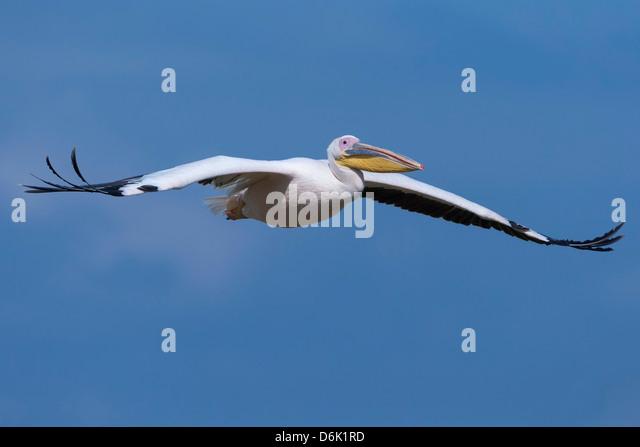 Great white pelican (Pelecanus onocrotalus) in flight, Lake Nakuru National Park, Kenya, East Africa, Africa - Stock Image