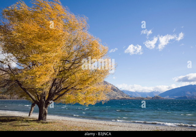 Tree on lakeside path at southern end of Lake Wanaka in autumn in Wanaka Otago South Island New Zealand - Stock Image
