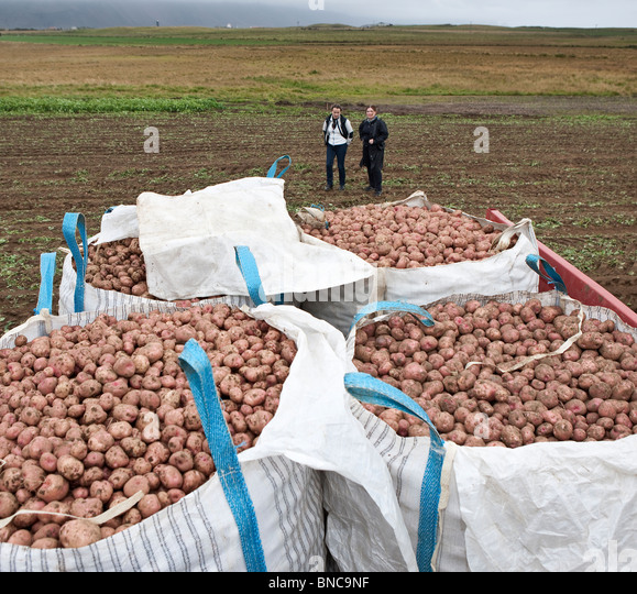 Harvesting red potatoes, Iceland - Stock Image