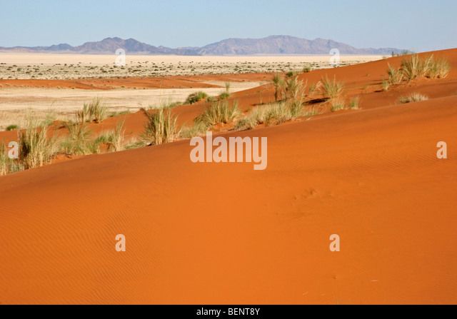 Dune bushman grass / dune reeds (Stipagrostis amabilis) on sand dune in the Namib desert, Namibia, South Africa - Stock Image