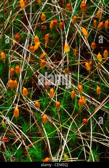 Bog Plant, The Murrins, Co Tyrone, Ireland - Stock Image