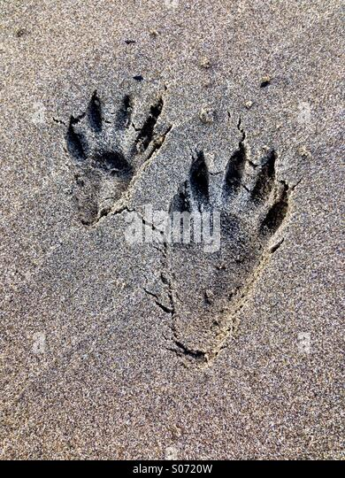 Raccoon tracks in the sand - Stock Image