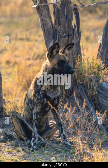 Botswana. Okavango Delta. Khwai Concession. Pack of African wild dogs (Lycaon pictus) resting. - Stock Image