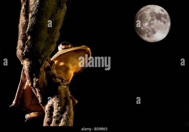 tree frog hypsiboas geograficus at night in the Bolivian jungle - Stock-Bilder
