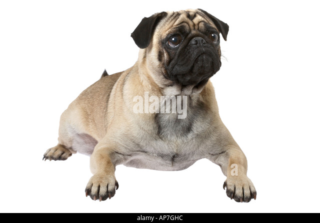 pug laying down dog laying down stock photos dog laying down stock 1099