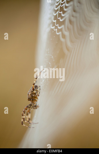 A side view of an Orb Weaver spider on its dew-covered web, Western Oregon, USA (Araneidae) - Stock Image