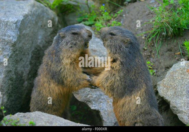 alpine marmot (Marmota marmota), two fighting marmots, Austria - Stock Image