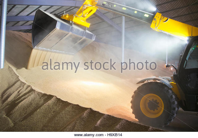 Dumper Truck Unloading Wheat Into Grain Store - Stock Image