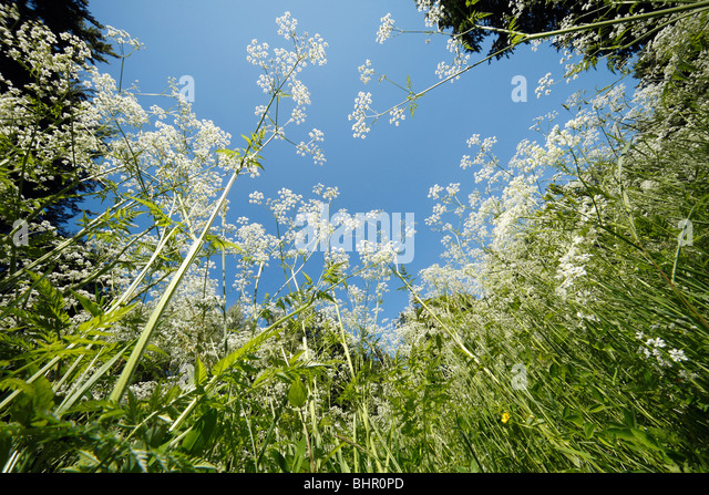 Cow Parsley (Anthriscus sylvestris), growing in forest glade, Germany  - Stock Image