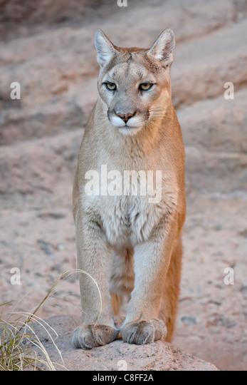 cougars in arizona