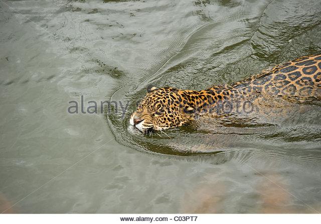 jaguar swimming pool - photo #32