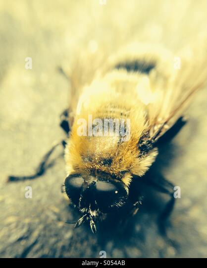 Close up of a bumble bee - Stock Image