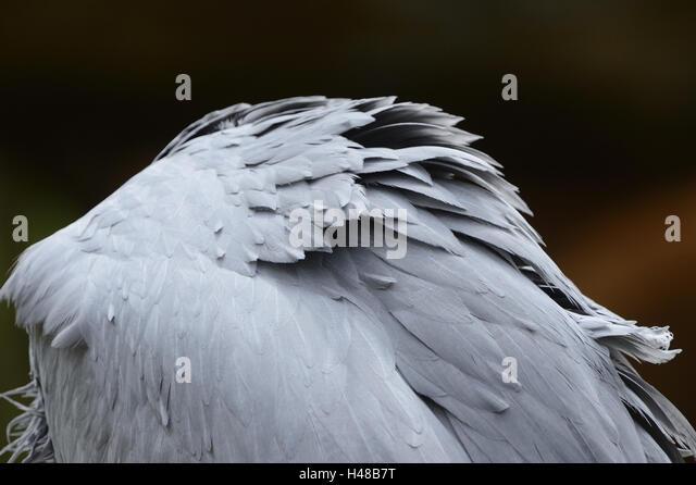 Paradise crane, anthropoid paradisea, plumage, - Stock-Bilder
