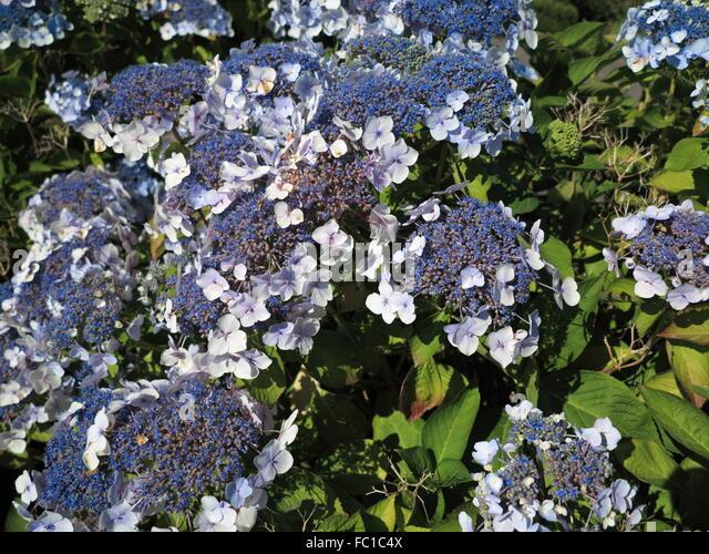 hortensia blue flower stock photos hortensia blue flower. Black Bedroom Furniture Sets. Home Design Ideas