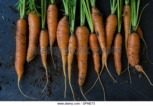 Bunch of fresh carrots just picked from garden with soil on dark background - Stock Image