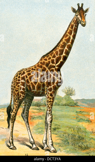 Giraffe, 19th century. - Stock-Bilder