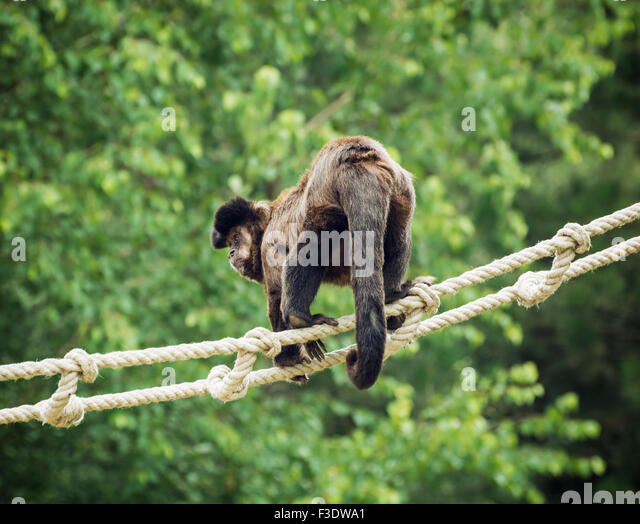 brown tufted capuchin The brown or tufted capuchin is recognized by its characteristic head coloration, a black or dark brown cap with dark sideburns on either side of the dark cap on the head there are tufts of.