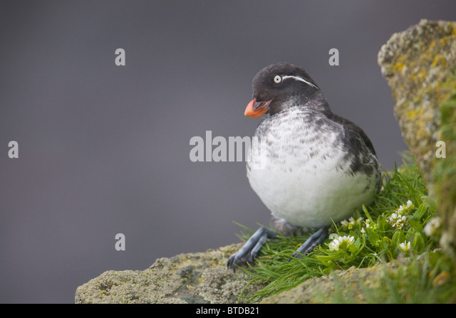 Parakeet Auklet sitting in green vegetation on ledge during Summer, Saint Paul Island, Pribilof Islands, Bering - Stock Image