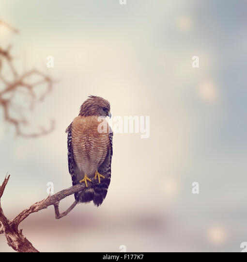 Red Shouldered Hawk Perches on a Log - Stock Image