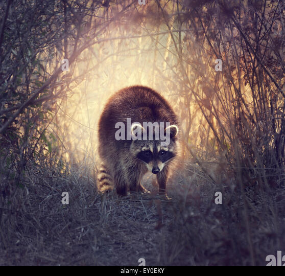 Wild Raccoon In Florida Wetlands At Sunset - Stock Image