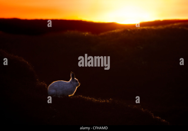 Mountain Hare at sunset with white coat that it develops during winter. Kinder Scout, Peak District National Park, - Stock Image
