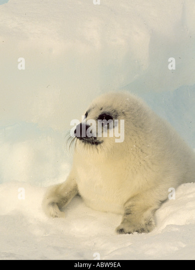 Canada Harp Seal Pup Magdalen Islands - Stock Image