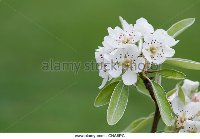 Pyrus elaeagnifolia kotschyana. Weeping Silver Pear tree blossom - Stock Image