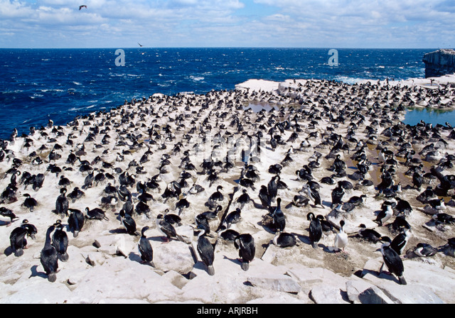 Imperial (king) shags (Phalacrocorax atriceps albiventer), Sea Lion Island, Falkland Islands, South Atlantic, South - Stock Image