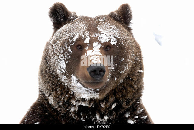 Brown bear European bear European brown bear predator Ursus arctos bear Ursus winter snow winter bear Sneaking animal - Stock Image
