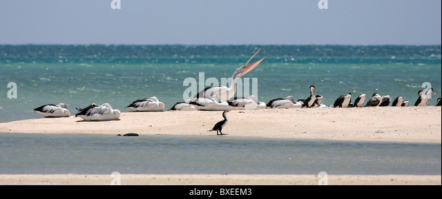 Australian Pelicans and Pied Cormorants roosting on a spit of sand at Monkey Mia Shark Bay near Denham Western Australia - Stock Image