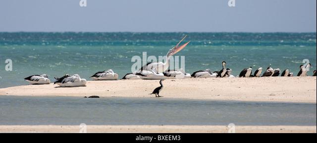 Australian Pelicans and Pied Cormorants roosting on a spit of sand at Monkey Mia Shark Bay near Denham Western Australia - Stock Image