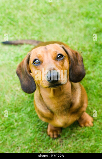 A Dachshund dog looking at the camera - Stock Image