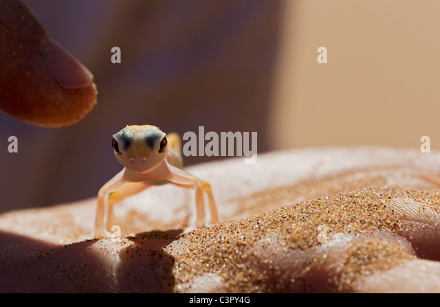 Africa, Namibia, Palmato gecko in human hand, close up - Stock Image