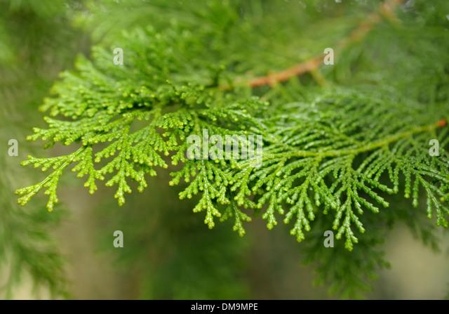 Hinoki Cypress, Chamaecyparis obtusa, Fronds - Stock Image