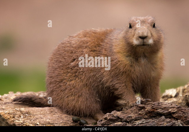Prairie Dog - Stock Image