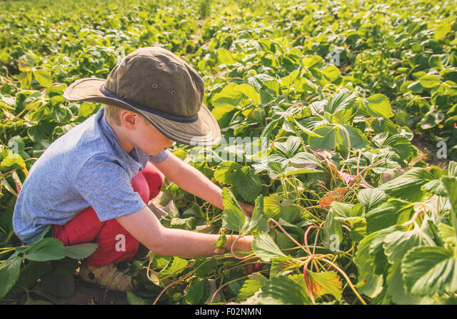 Boy picking strawberries - Stock Image