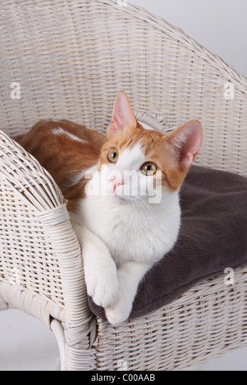 Hauskatze, liegt im Korbsessel, Felis silvestris forma catus, Domestic-cats, lies in basket chair - Stock Image