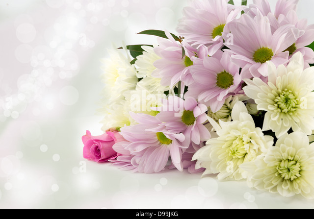 Pastel pink and white chrysanthemum bouquet with a soft diffused background - Stock Image