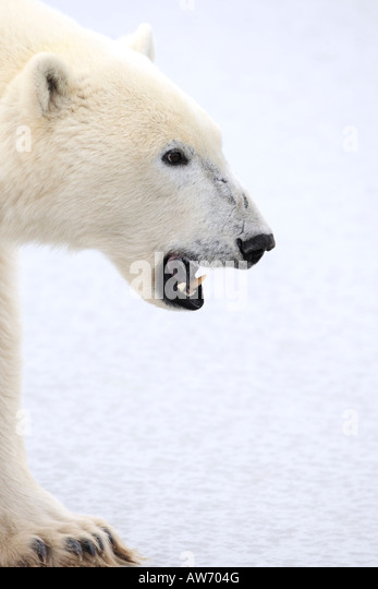 Polar bear - Stock Image