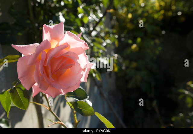 Rose in morning sunshine - Stock Image