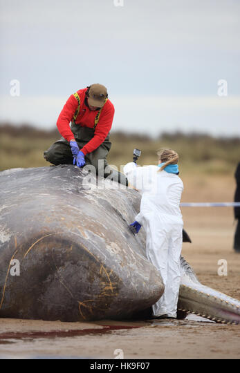 Sperm Whale (Physeter macrocephalus) auropsy dead on beach Hunstanton Norfolk UK February - Stock-Bilder