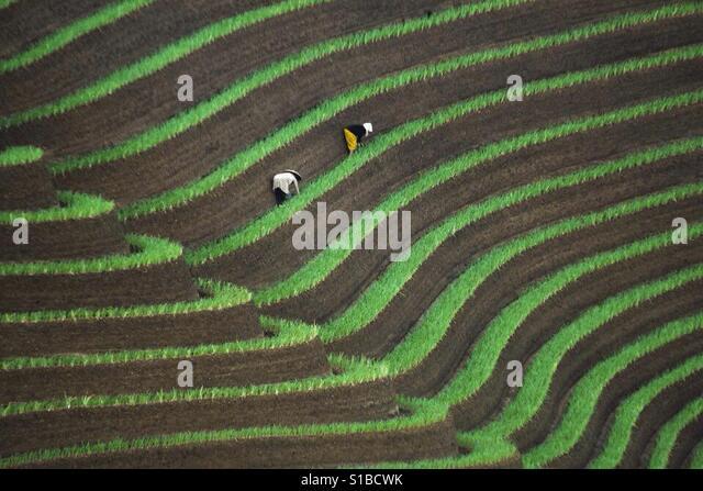 Onion field of Argapura Majalengka - Stock Image