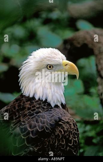 American bald eagle fish hawk adult - Stock Image