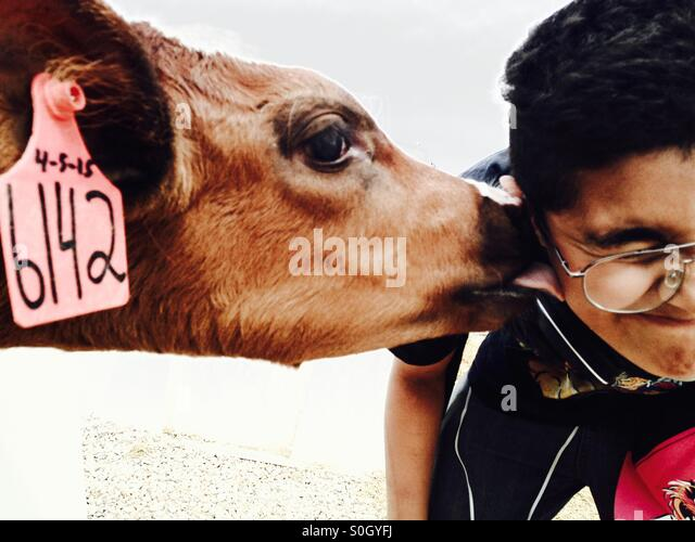 Cow smooooches - Stock Image