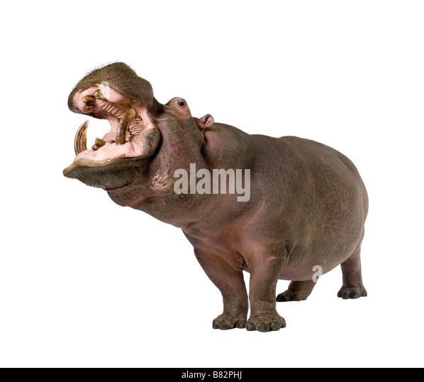 Hippopotamus Hippopotamus amphibius 30 years in front of a white background - Stock-Bilder