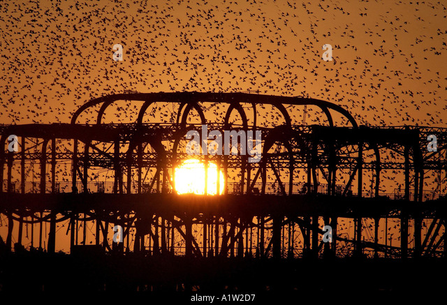 Starlings roost on the skeleton of Brightons burnt out West Pier - Stock Image