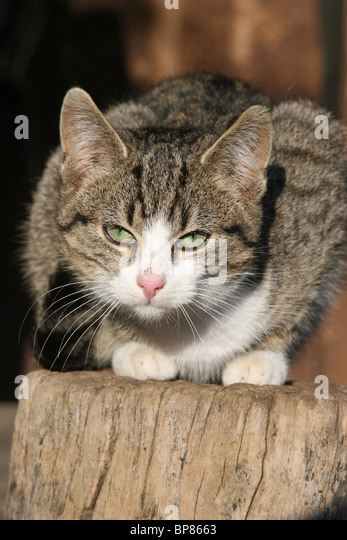 Domestic Cat (Felis silvestris, Felis catus). Free-ranging farm cat crouched on a log. - Stock Image