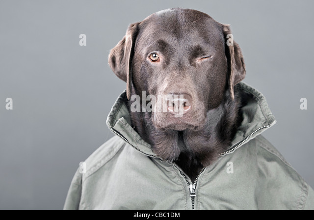 WInking Chocolate Labrador - Stock Image