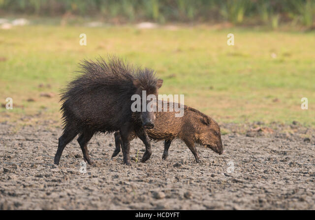 A White-lipped Peccary alongside a young one, showing signs of aggression by stirring up its fur. - Stock Image